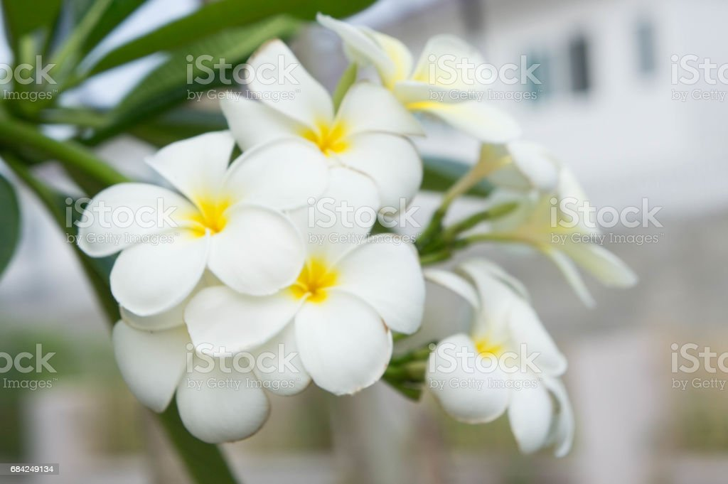 Plumeria flowers , beautiful flowers in the garden royalty-free stock photo