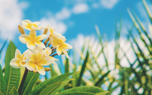 istock Plumeria flowers blooming against the sky. Selective focus. 1130100562