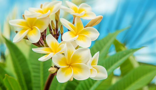 istock Plumeria flowers blooming against the sky. Selective focus. 1144148733