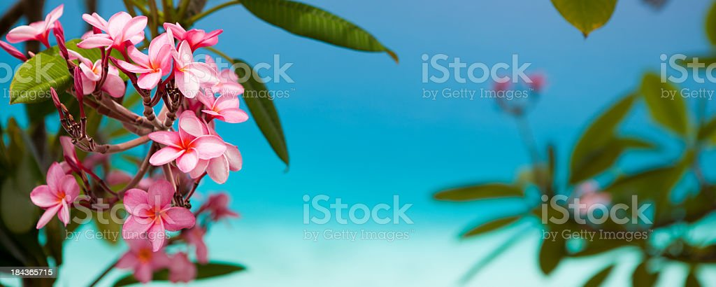 plumeria (frangipani) flowers blooming in Virgin Islands, against turquoise water stock photo