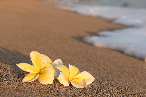 Plumeria flowers on the shore with foam wave stock photo