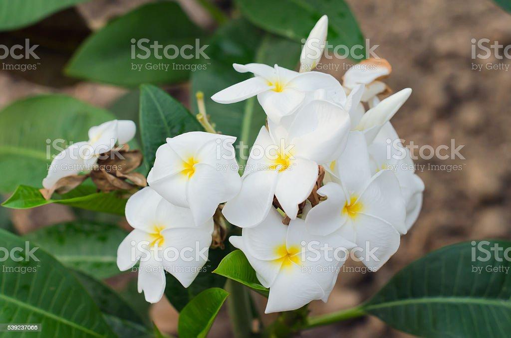 Flores de Plumeria (frangipani) en árbol foto de stock libre de derechos