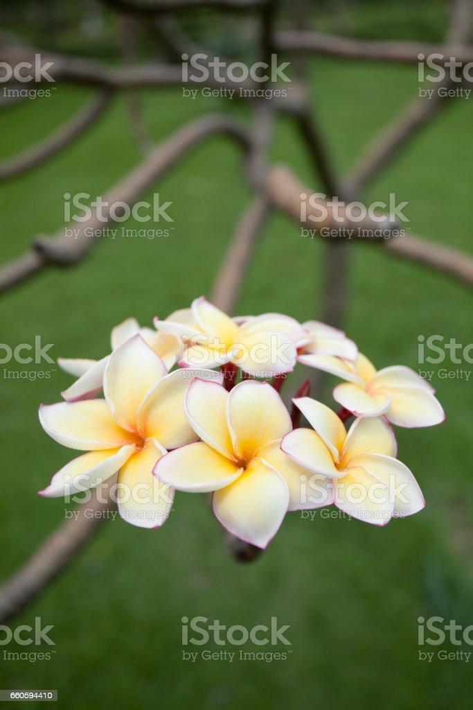 Plumeria flowers royalty-free stock photo