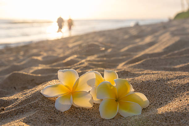 Plumeria flowers with golden sunlight and couple stock photo