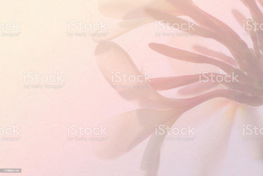 Plumeria flor de Frangipani fondo suave - foto de stock