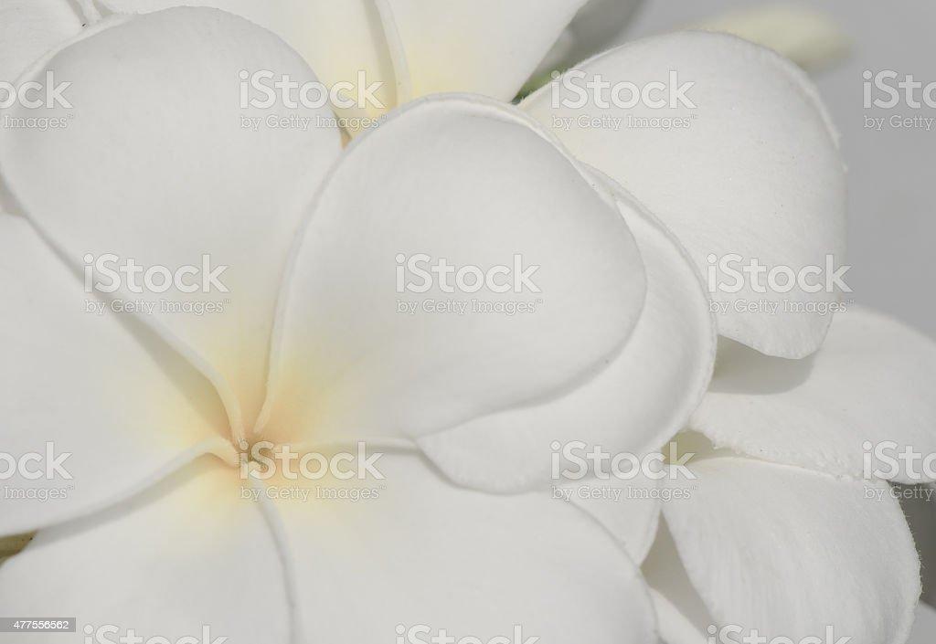 Fondo de flores de Plumeria Frangipani - foto de stock