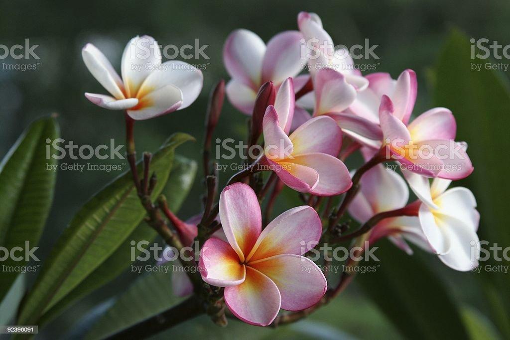 plumeria / frangipani flowers royalty-free stock photo