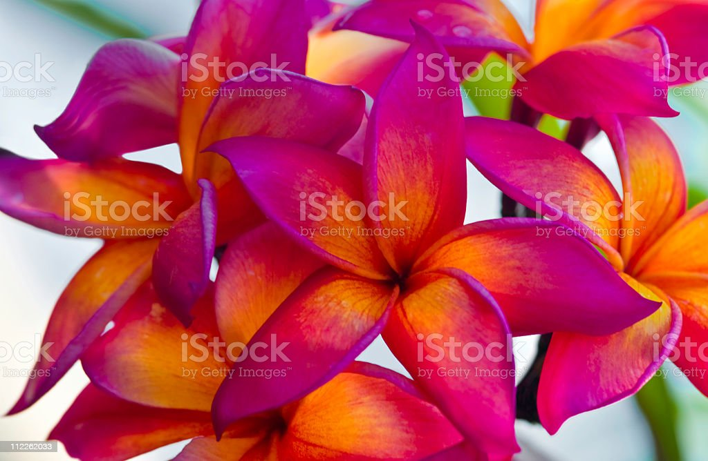 Plumeria, Frangipani in the tropics royalty-free stock photo