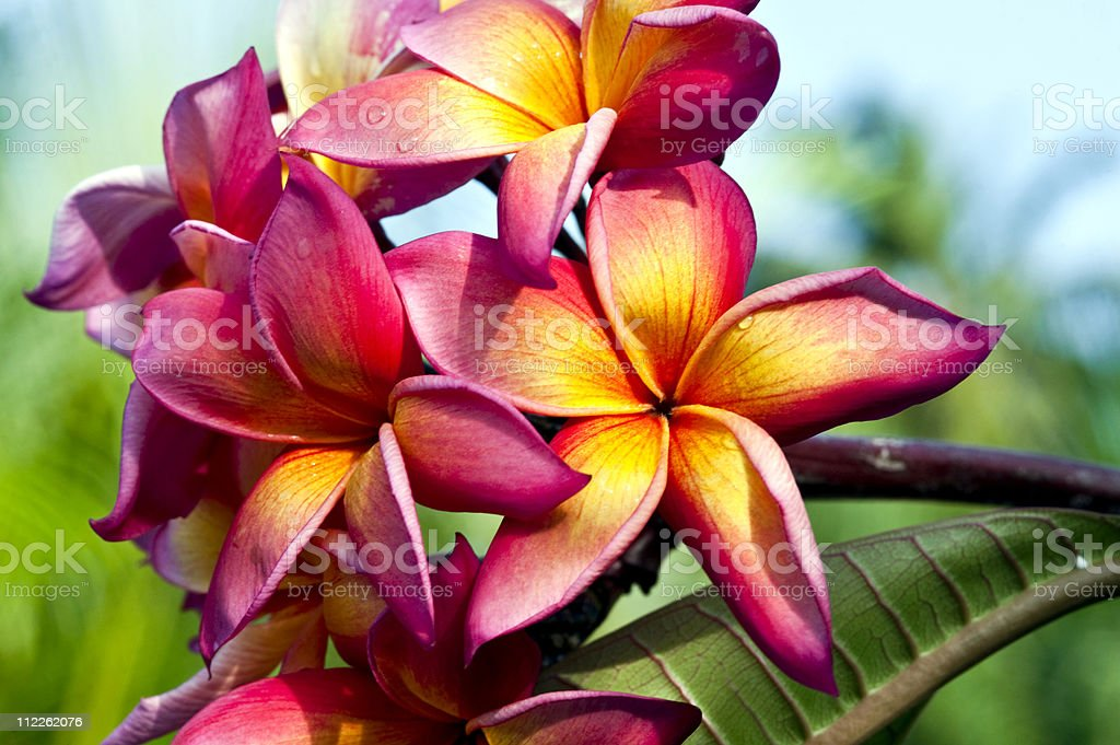 Plumeria, Frangipani in the tropics royalty-free stock photo