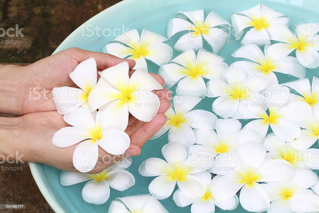 Plumeria in hand with celadon basin royalty-free stock photo