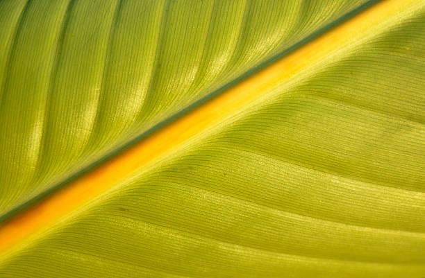 Plumeria leaf closeup stock photo