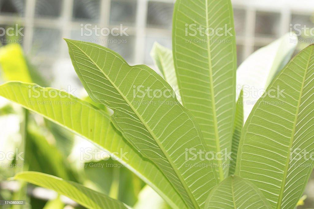 Plumeria лист Стоковые фото Стоковая фотография
