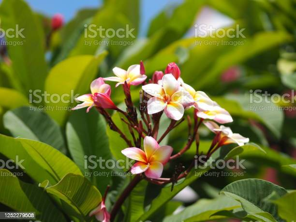 Plumeria mix color white pink and yellow colorfull flower blooming in picture id1252279508?b=1&k=6&m=1252279508&s=612x612&h=tqguv7hdjorx2owsdcer55fie80e  thlhn3avqvoho=