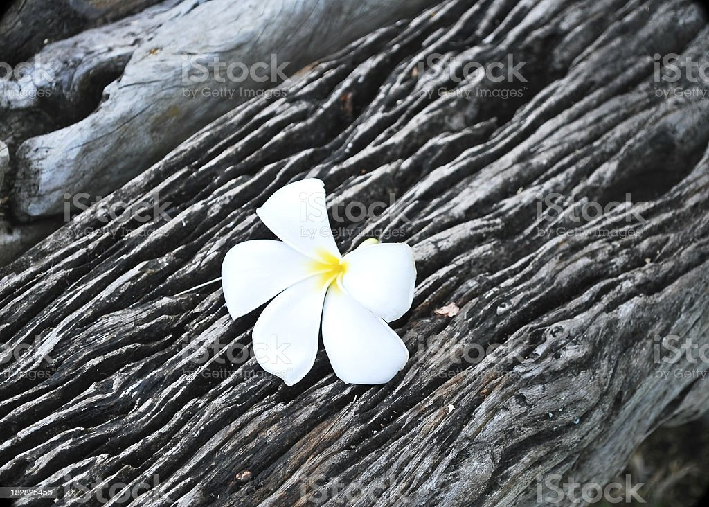 Plumeria on aged wood royalty-free stock photo