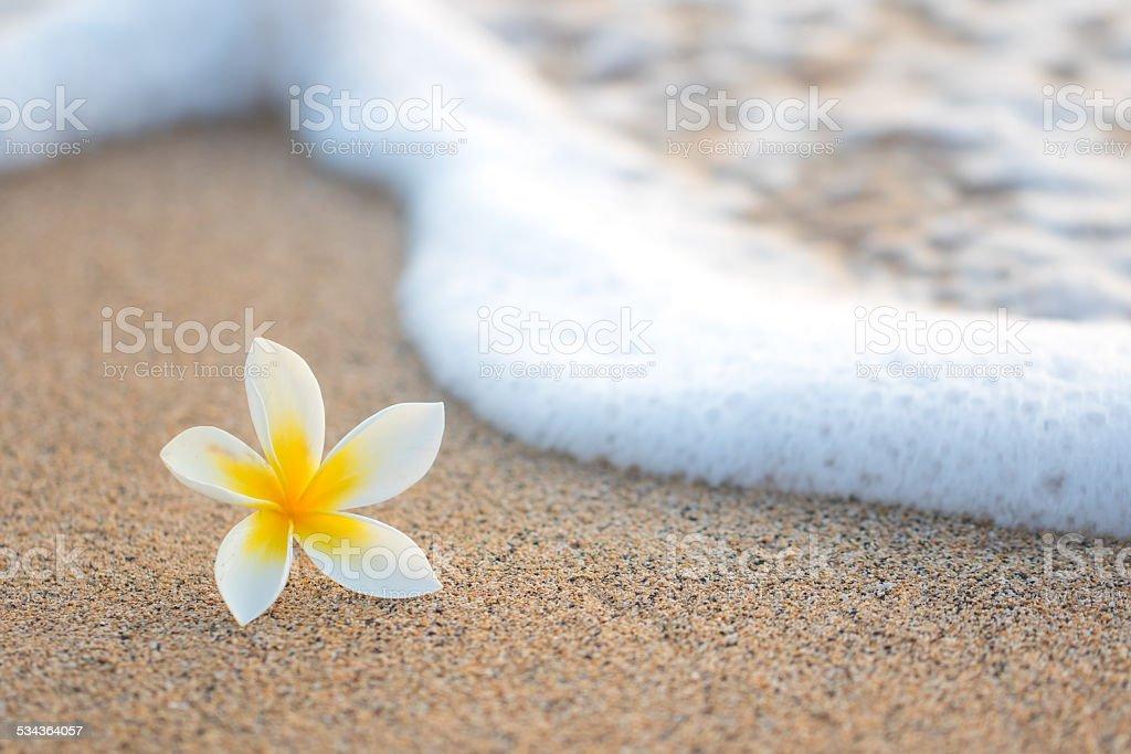 Plumeria on Beach stock photo
