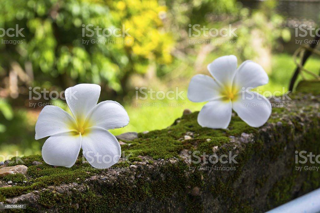 Plumeria auf dem grünem Moos wall – Foto