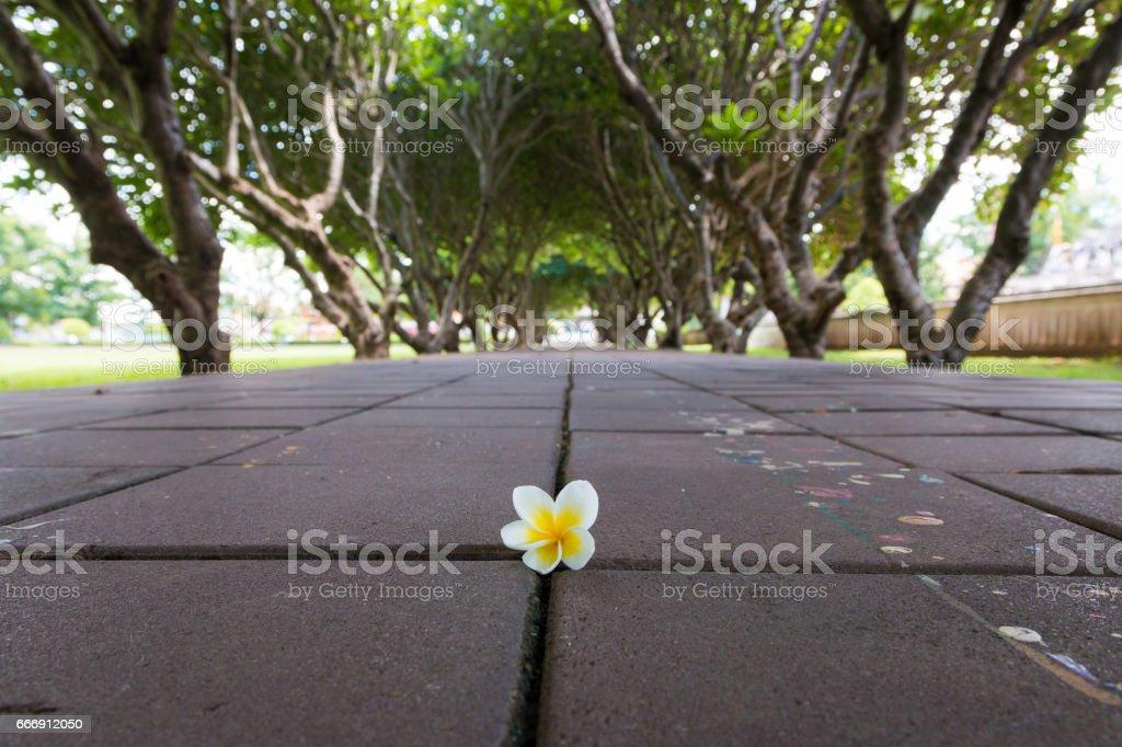 Plumeria or Templetree Flowers on floor and Frangipani trees tunnel stock photo