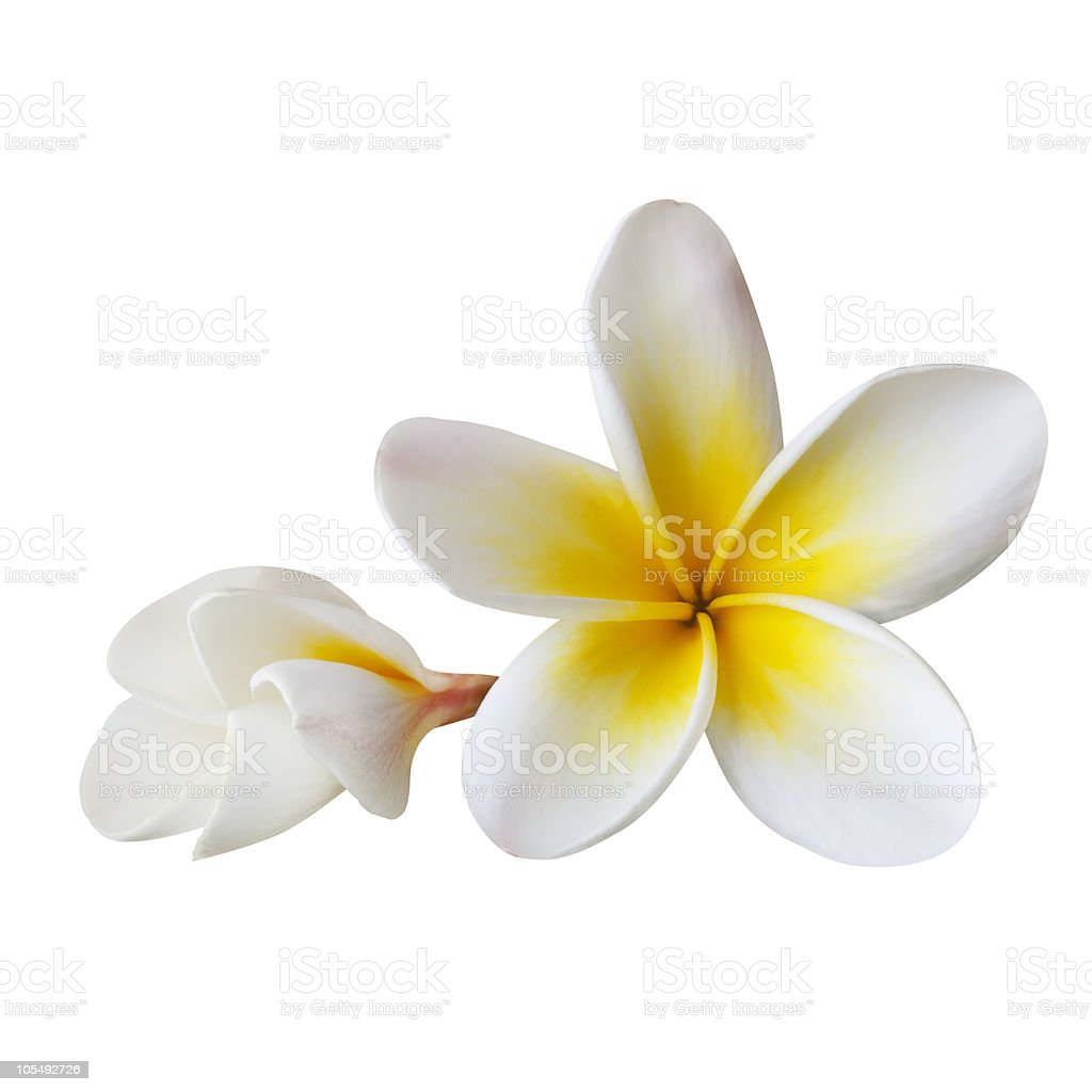 Plumeria (with Path) royalty-free stock photo