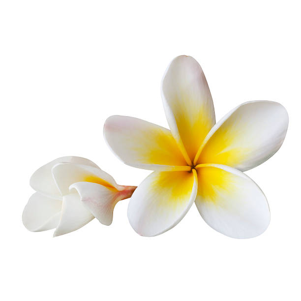 Plumeria (with Path) stock photo