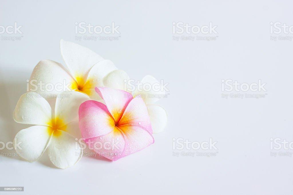 Plumeria royalty-free stock photo