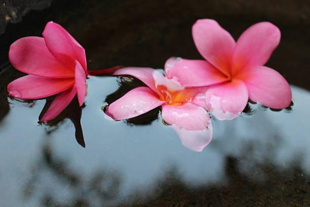Plumeria Temple Tree Flowers stock photo