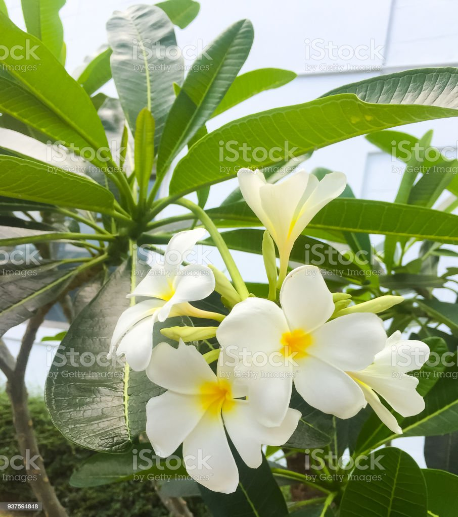 Plumeria The Beautiful White And Yellow Flowers On The Tree With