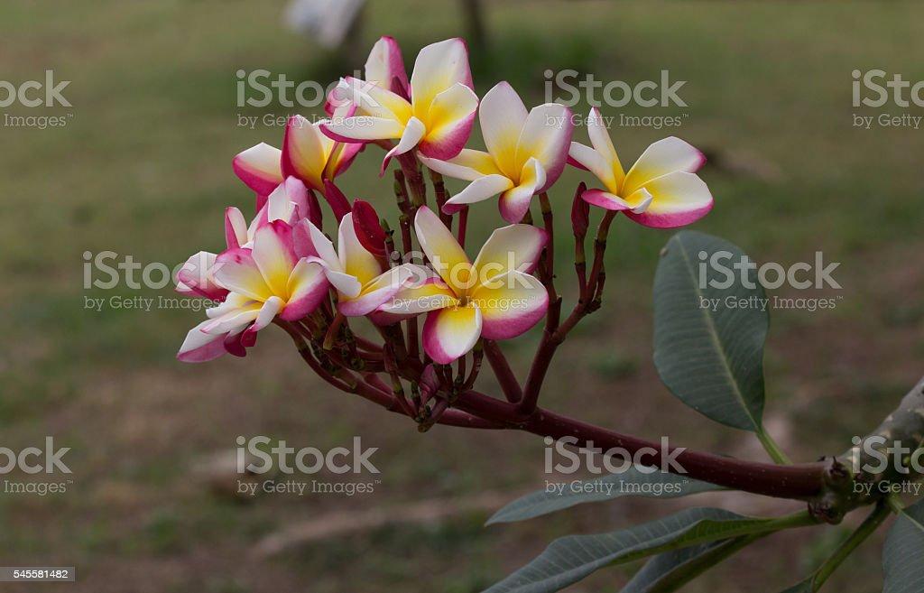 plumeria tree royalty-free stock photo