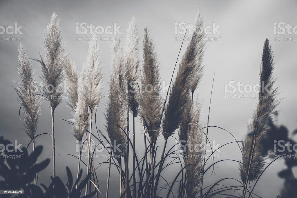 Pennacchi al vento stock photo