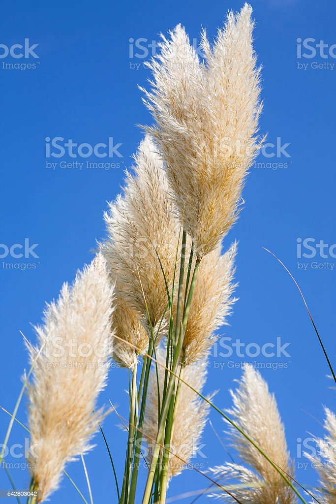 Plumes of pampas grass against a blue sky stock photo