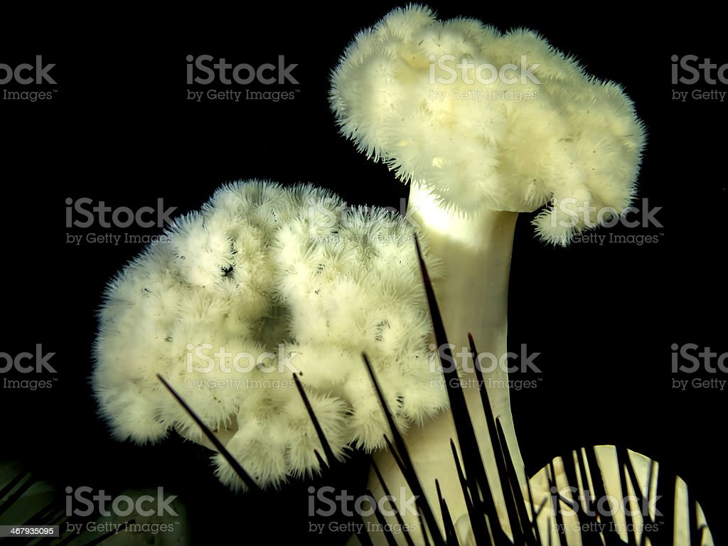 Plumose Anemone (Metridium farcimen) stock photo
