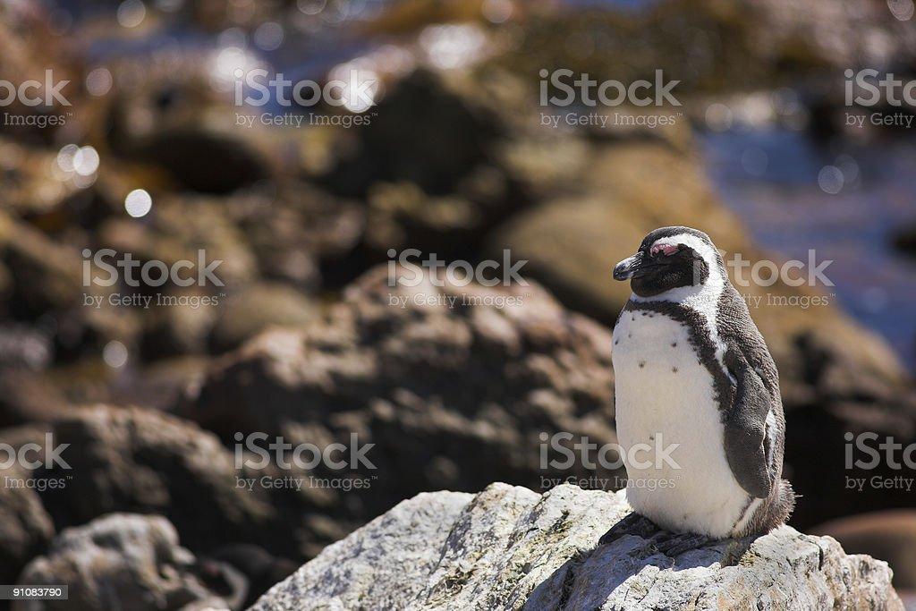 Plump Jackass Penguin sitting on a rock royalty-free stock photo