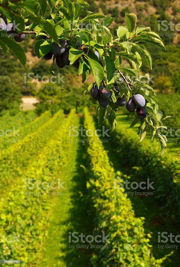 Plums and Berries stock photo