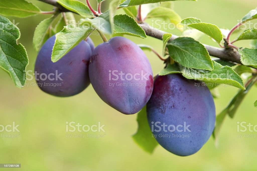 Plums group royalty-free stock photo