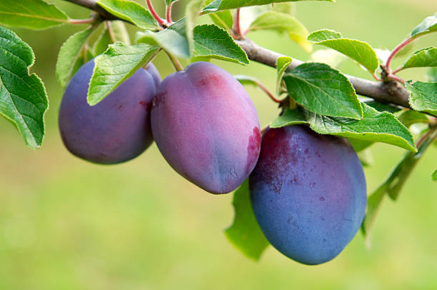 Plums group stock photo