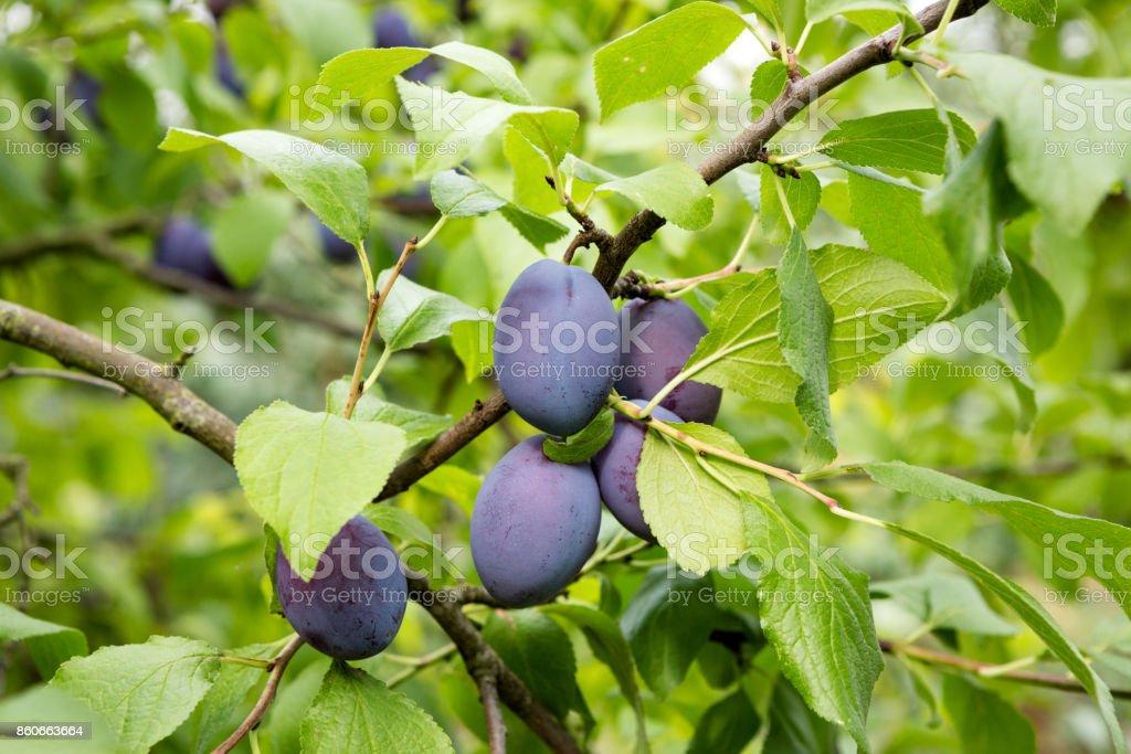 Ameixas em um Plumtree. - foto de acervo