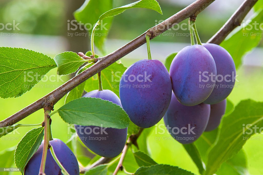 Plums on a tree stock photo