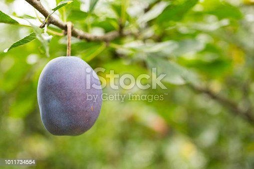Plum Tree Foliage.Organic Fruits