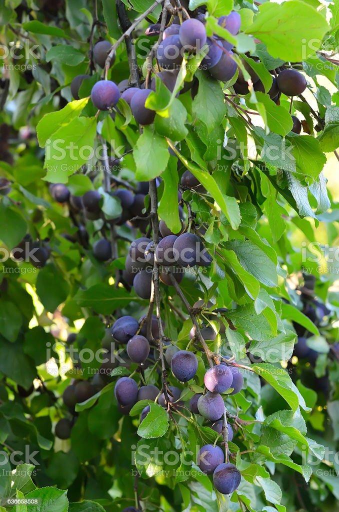Ameixas na árvore - foto de acervo