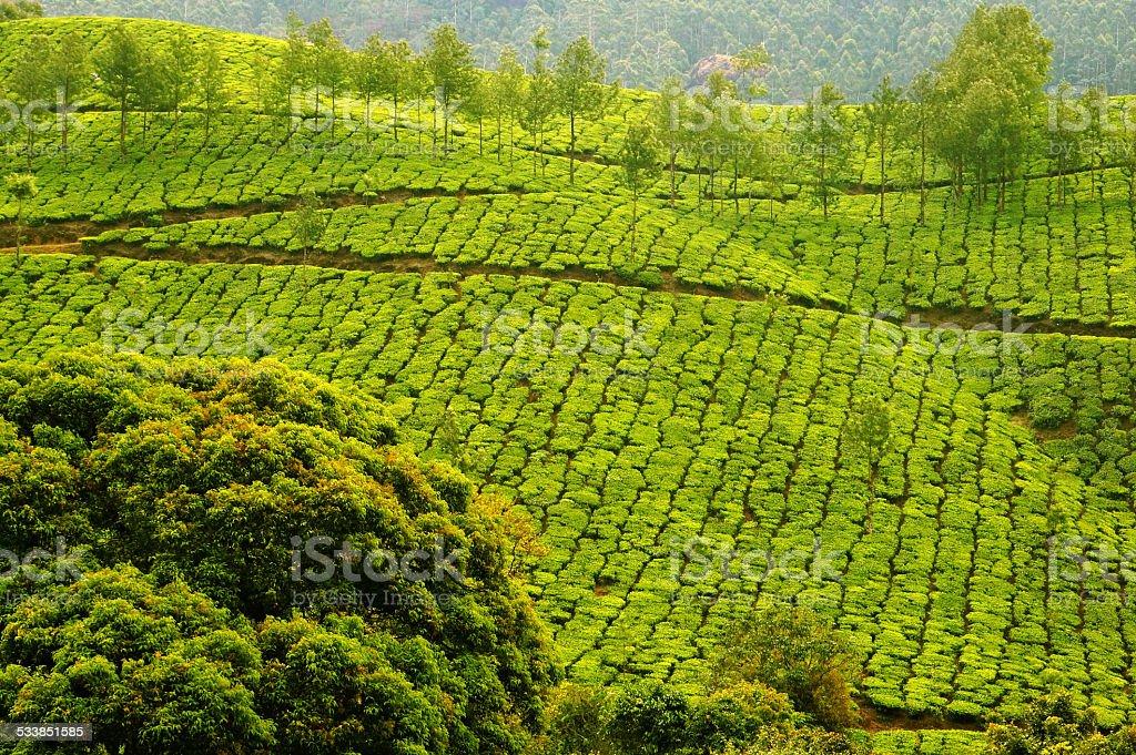 Plush Slopes of Tea Hills stock photo