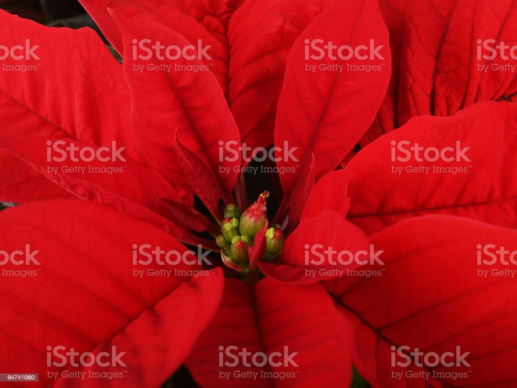Plush Winter Flower royalty-free stock photo
