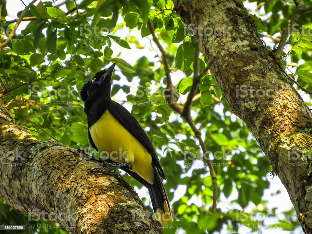 Plush-Crested Jay (Cyanocorax Chrysops) Standing on a Tree in its Natural Habitat stock photo
