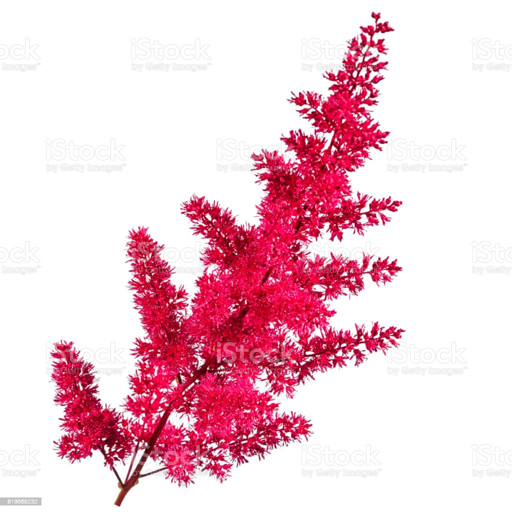 plushy pink astilbe flower isolated on white background stock photo