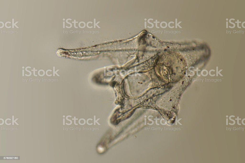 pluteus larva of Hemicentrotus pulcherrimus stock photo