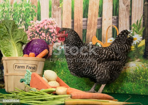 istock Plymouth Rock barred hen chicken with basket of farm fresh vegetables and spring flowers at Easter 936685636