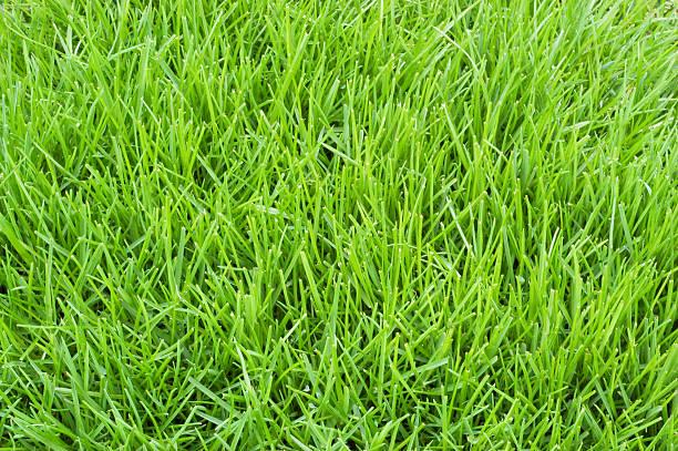 Poa Annual Gras – Foto