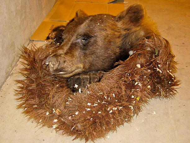 Poached Bear stock photo