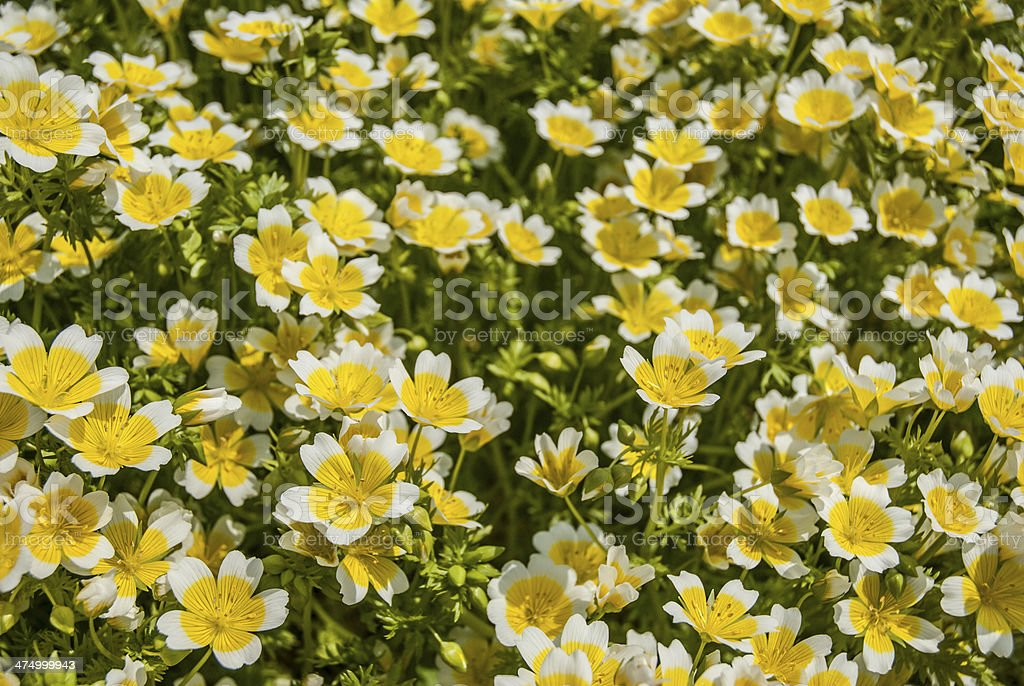 Poached Egg Flowers stock photo