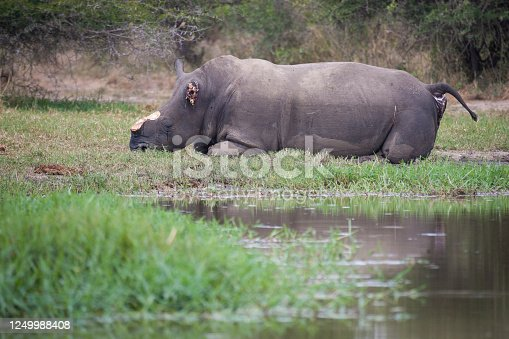 Brutally killed white rhino by poachers with horn and ear removed in Kruger Park South Africa