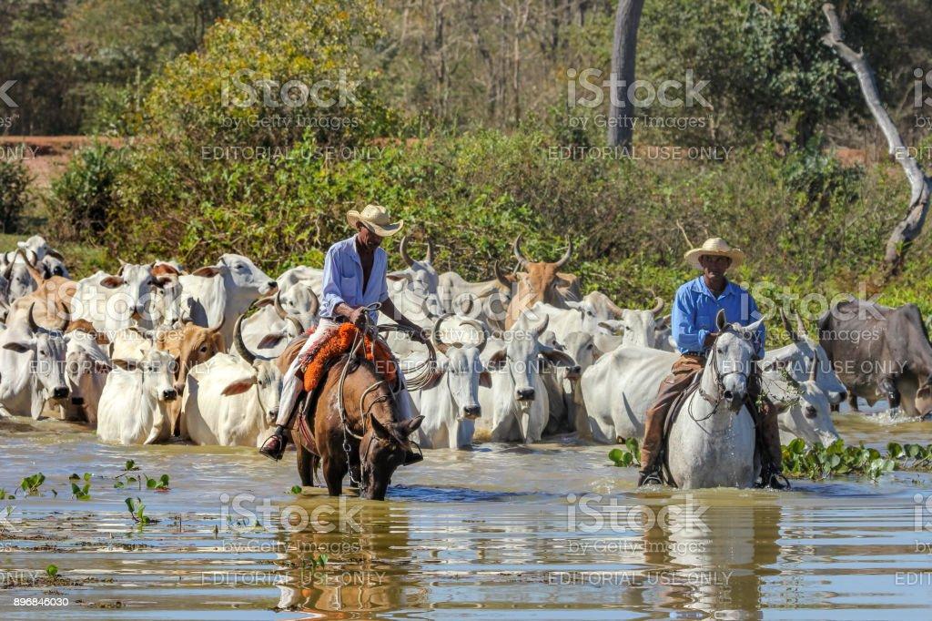 aff2388ff17ad Foto de Pocone Brasil Cowboy Montando Cavalo é Pastorear Gado No ...