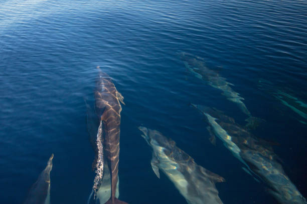 Pod of 7 common bottlenosed dolphins swimming underwater near the Channel Islands National Park off the California coast in United States stock photo